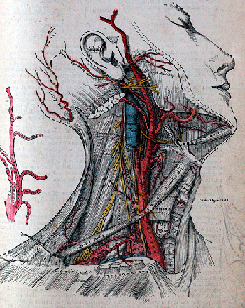 Illustration from Henry Gray's publication Gray's Anatomy, 1918, lithograph plate, Mary Evans Picture Library, London. ©King's College London / Mary Evans. Image: Mary Evans/Scala, Florence.